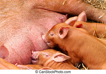 Little Piglets - Little piglets sucking on the teats of...