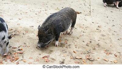 little piglets with parents