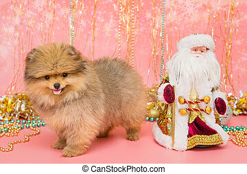 Little Pomeranian puppy and Christmas