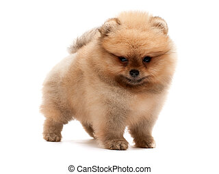 A standing little pomeranian spitz puppy; isolated on the white background
