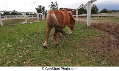 Little pony picks grass in the ranch paddock with a tail on camera walking around. March, 2020. Kiev, Ukraine. Prores 422.