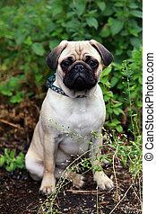 Little pug dog