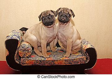 Little Pugs sitting on a sofa - Pugs sitting on a sofa (10...