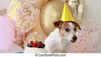 Little puppy in yellow birthday hat stands near small cake ...