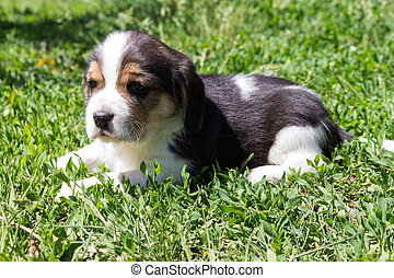 Little puppy of a hunting breed lies in the grass