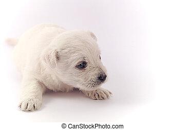 Little puppy over white