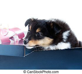little puppy Sheltie in a gift box