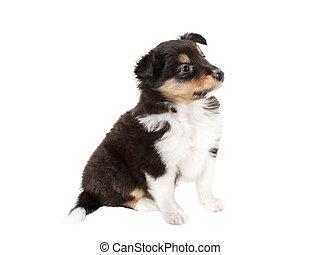 little puppy Sheltie