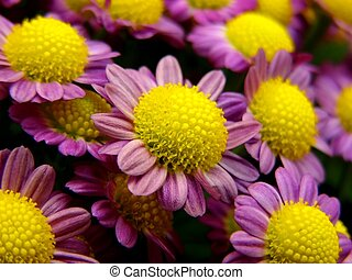 little purples - potted flowers with shallow dof focus in...