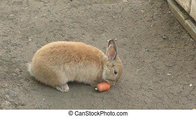 Little rabbit eats carrots