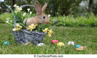 Little rabbit sitting in the basket and then jumping out the grass
