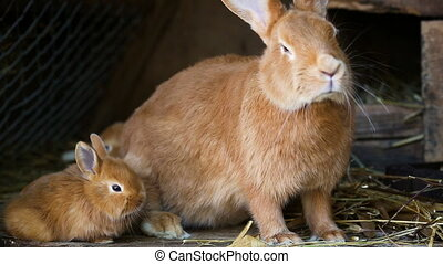 little rabbits family at cage - little red rabbits family at...