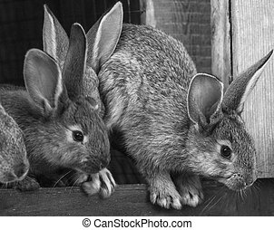 little rabbits in farm cage or hutch. Breeding rabbits ...