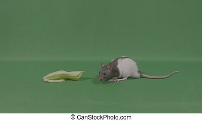 Little rat mice near piece of food?on green screen