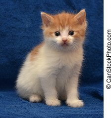 Little red and white kitten shorthair cat European.