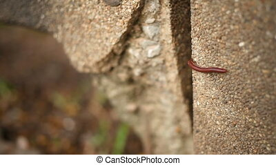Little red centipede crawling on a stone parapet