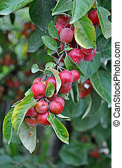 Little red crab apples