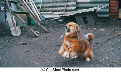 Little Red Dog Standing on Two Legs in the Yard on a Chain Barks. Slow Motion