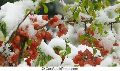Little red flowers freeze under the snow