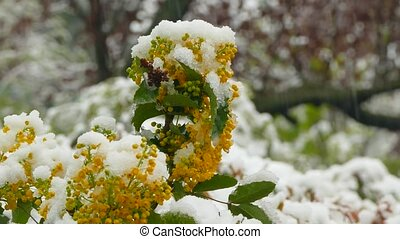 Little red flowers on a tree freeze under snow during a...