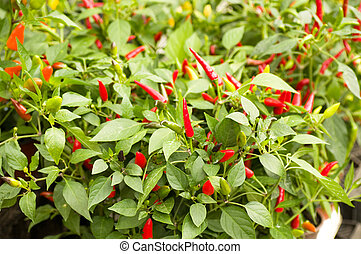 Little red hot Chile Peppers