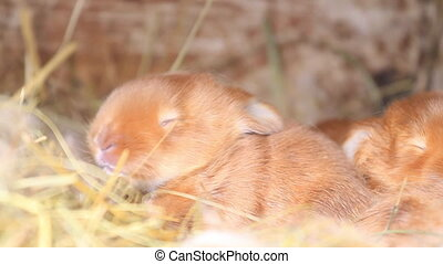 little red rabbits sniff peacefully in their nest, nature