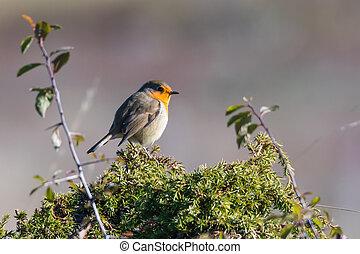 Little red Robin in top of a juniper shrub