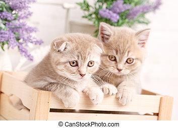 Little red scottish fold kittens playing in wooden box