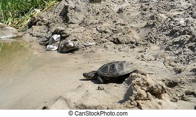 Little River Turtle Crawling along the Sandy Beach into the...