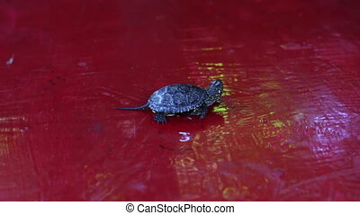 Little river turtle crawling on the table. - Little turtle...