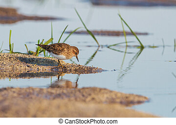 little sandpiper at the edge of the lake