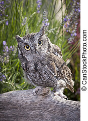 Little screech owl on log.
