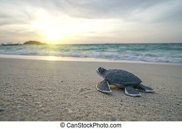 Little sea turtle on the sandy beach in morning.