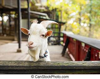Little sheep in farm