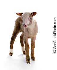 little sheep on a white background. (high-resolution images)...