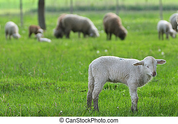 Little Sheep Resting