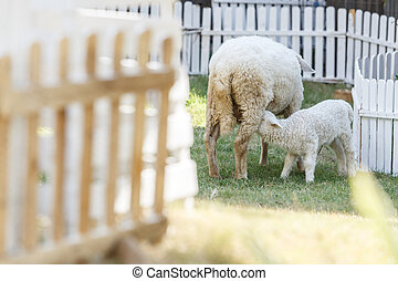 little sheep with mother