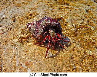 Little shell Rapa whelk from the Black sea