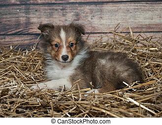 Little Sheltie puppy