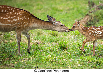 Little sika deer with his mother