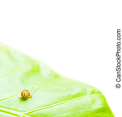 Little snail on the green leaf, isolated on white background