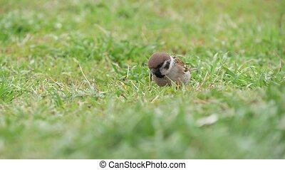 Little sparrow jumping and scavenging insects in lawn is...