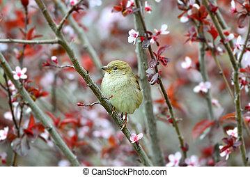 Little sparrow on a Japanese plum tree