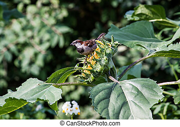Little Sparrow on a sunflower in summer Park