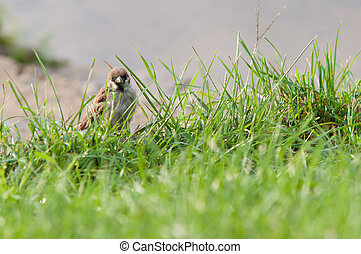little sparrow on the grass