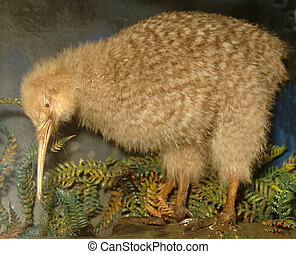 little spotted kiwi - Little Spotted kiwi, Apteryx oweni,...