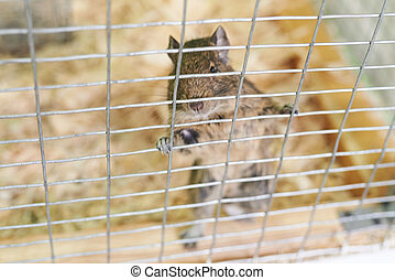 Little squirrel degu hanging on the bars of the cage