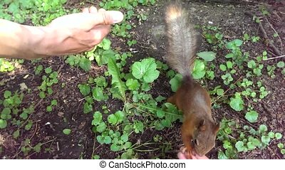 Little squirrel is looking for food in the hands of people...