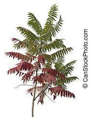 little staghorn sumac tree with green and red leaves at autumn time, isolated on white