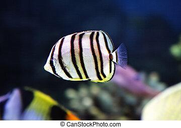 Little striped fish in aquarium closeup photo selective ...